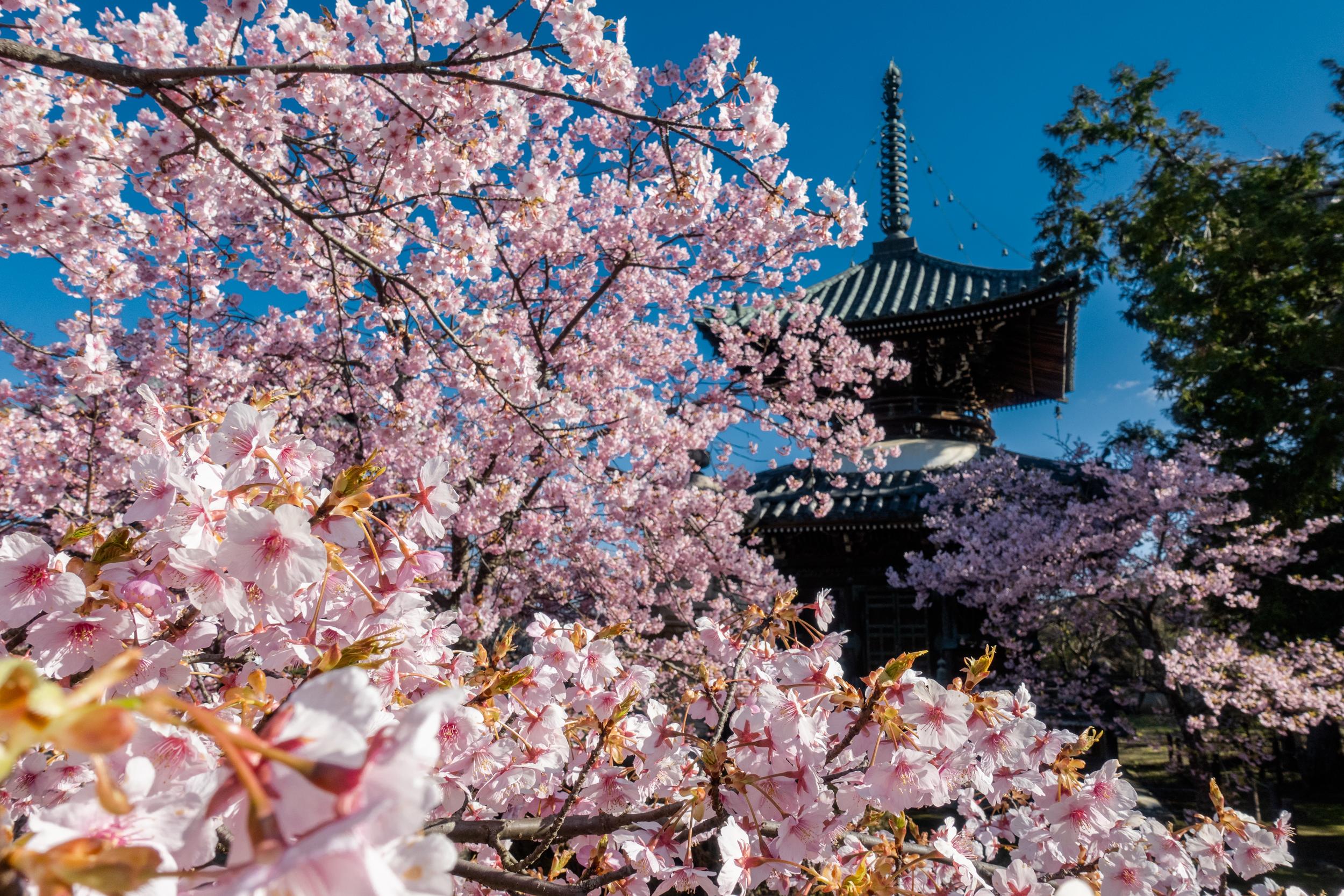 DSC03281 京都府 清凉寺(多宝塔と河津桜の美しい景色! 京都の春におすすめ桜写真スポット!撮影した写真の紹介、 アクセス方法や駐車場、桜の開花状況など)