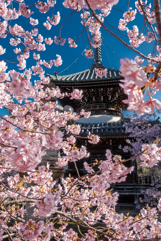 DSC03286 京都府 清凉寺(多宝塔と河津桜の美しい景色! 京都の春におすすめ桜写真スポット!撮影した写真の紹介、 アクセス方法や駐車場など)