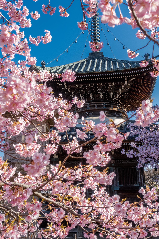 DSC03302 京都府 清凉寺(多宝塔と河津桜の美しい景色! 京都の春におすすめ桜写真スポット!撮影した写真の紹介、 アクセス方法や駐車場、桜の開花状況など)