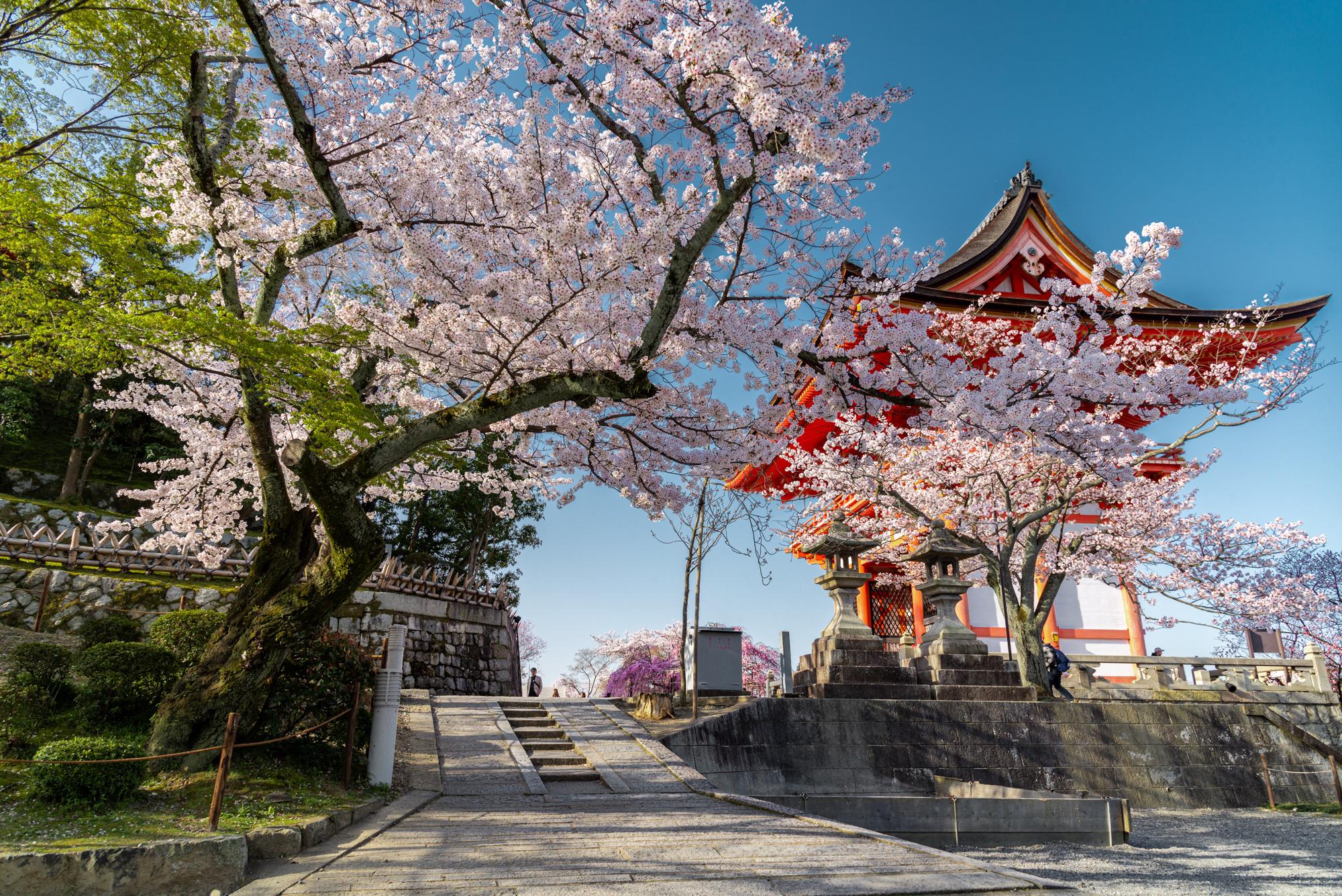 NIKON-CORPORATION_NIKON-D800E_1585462386-1585558165_13943 京都府 清水寺(2020年 清水寺の桜景色と春におすすめの写真スポット. 見どころやライトアップ、アクセス、工事状況、桜の見頃情報まとめ)
