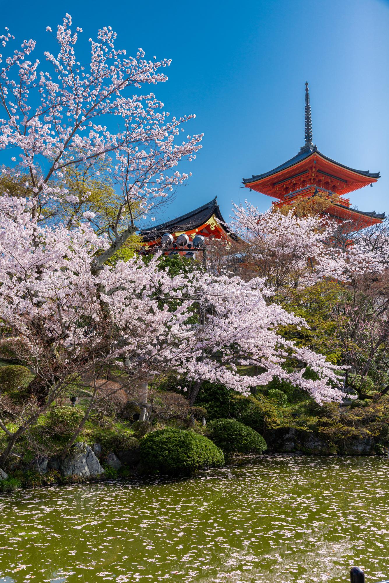 NIKON-CORPORATION_NIKON-D800E_1599244146-1599342657_14031 京都府 清水寺(2020年 清水寺の桜景色と春におすすめの写真スポット. 見どころやライトアップ、アクセス、工事状況、桜の見頃情報まとめ)