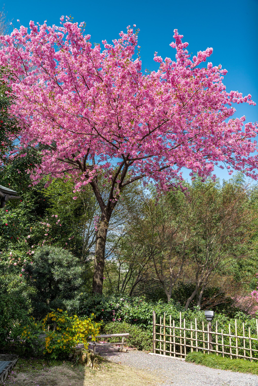 NIKON-CORPORATION_NIKON-D800E_1601396978-1601496018_14054 京都府 高台寺(方丈庭園に咲くしだれ桜の美しい景色! 京都で春におすすめの写真スポット! 撮影した写真の紹介、ライトアップやアクセス.駐車場.開花情報など)
