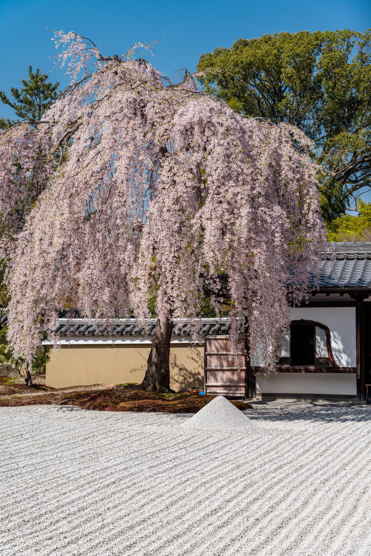 NIKON-CORPORATION_NIKON-D800E_1608253874-1608361025_14107 京都府 高台寺(方丈庭園に咲くしだれ桜の美しい景色! 京都で春におすすめの写真スポット! 撮影した写真の紹介、ライトアップやアクセス.駐車場.開花情報など)