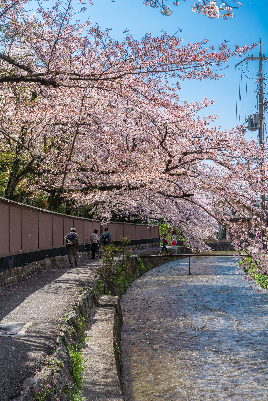 NIKON-CORPORATION_NIKON-D800E_1617020210-1617125892_14200 京都府 岡崎疎水・白川 (川にかかる赤い橋と鳥居の美しい桜景色!京都の春におすすめ桜写真スポット! 撮影した写真の紹介、アクセスや駐車場など)