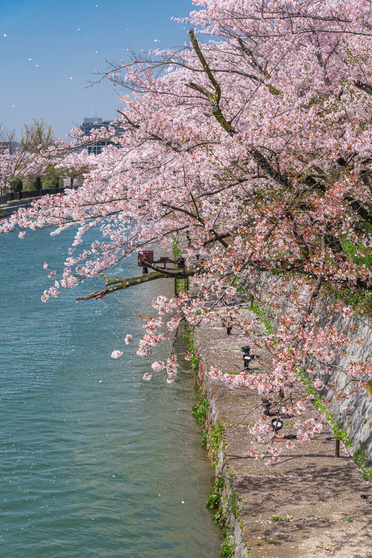 NIKON-CORPORATION_NIKON-D800E_1620940914-1621041454_14238 京都府 岡崎疎水・白川 (川にかかる赤い橋と鳥居の美しい桜景色!京都の春におすすめ桜写真スポット! 撮影した写真の紹介、アクセスや駐車場など)