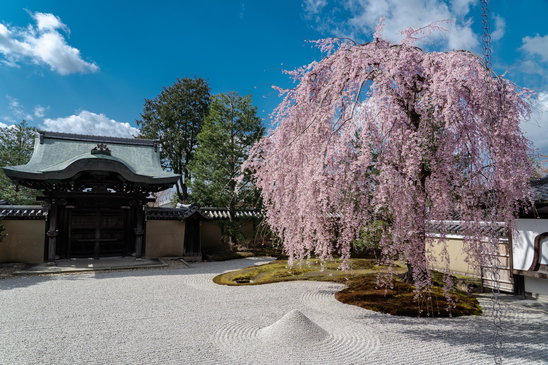 SONY_ILCE-7M3_1573763058-1573812695_388 京都府 高台寺(方丈庭園に咲くしだれ桜の美しい景色! 京都で春におすすめの写真スポット! 撮影した写真の紹介、ライトアップやアクセス.駐車場.開花情報など)