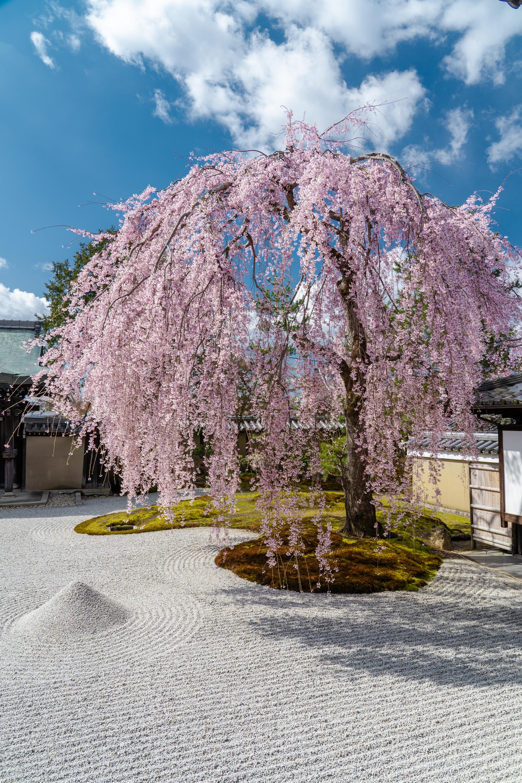 SONY_ILCE-7M3_1830486514-1830536407_424 京都府 高台寺(方丈庭園に咲くしだれ桜の美しい景色! 京都で春におすすめの写真スポット! 撮影した写真の紹介、ライトアップやアクセス.駐車場.開花情報など)