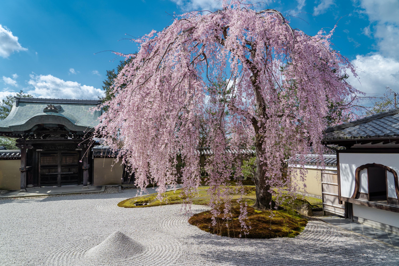 SONY_ILCE-7M3_1850147890-1850197631_448 京都府 高台寺(方丈庭園に咲くしだれ桜の美しい景色! 京都で春におすすめの写真スポット! 撮影した写真の紹介、ライトアップやアクセス.駐車場.開花情報など)