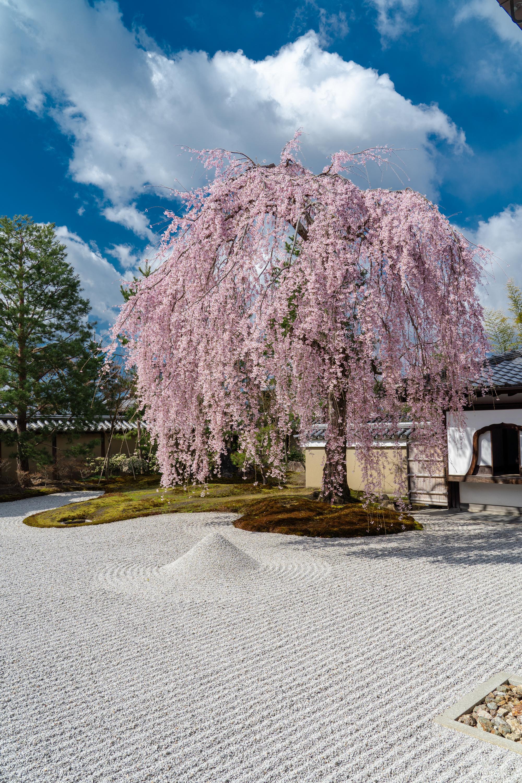 SONY_ILCE-7M3_1972168754-1972218543_547 京都府 高台寺(方丈庭園に咲くしだれ桜の美しい景色! 京都で春におすすめの写真スポット! 撮影した写真の紹介、ライトアップやアクセス.駐車場.開花情報など)