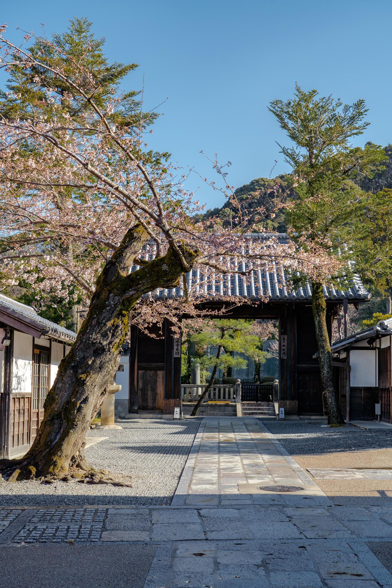 SONY_ILCE-7M3_3283685042-3283734735_2217 京都府 清水寺(2020年 清水寺の桜景色と春におすすめの写真スポット. 見どころやライトアップ、アクセス、工事状況、桜の見頃情報まとめ)