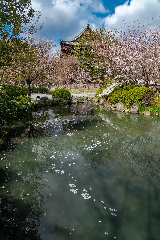 SONY_ILCE-7M3_3518701874-3518751343_3230 京都府 東寺(水面に映る五重塔と桜の美しい景色! 京都の春におすすめ桜写真スポット! 撮影した写真の紹介、アクセスや駐車場.ライトアップ.2020年桜の見ごろ予想など)