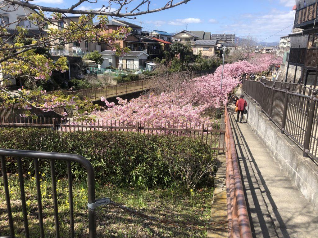 d907fe0dd51f0fff258d7d799292a863-1024x768 京都府 淀水路の河津桜(京都でいち早く桜が満開になるおすすめの河津桜写真スポット! アクセス方法や駐車場、2020年桜の開花状況など)