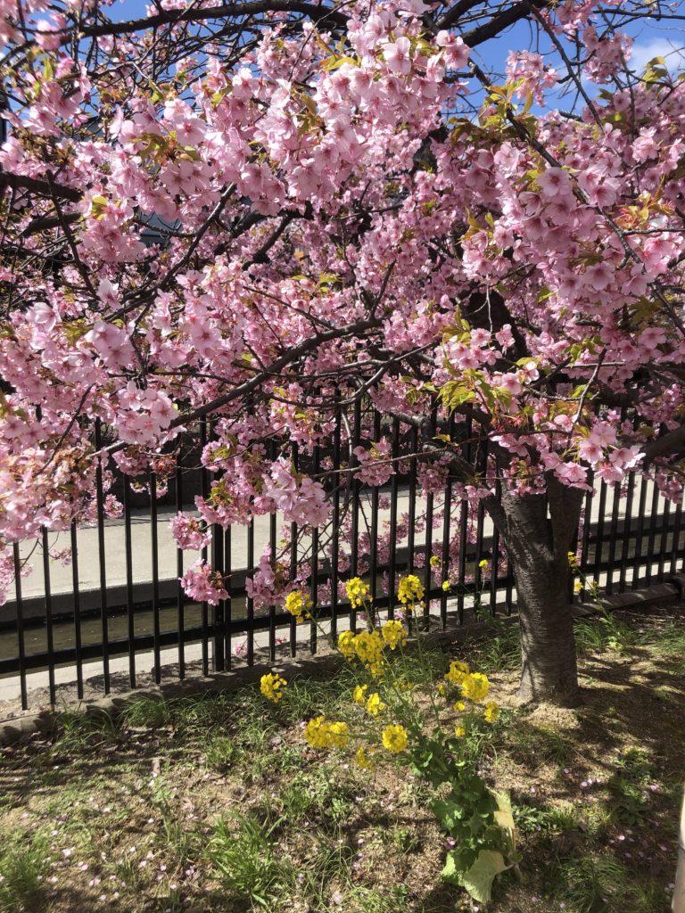 e0a56af21f243a6b0b7bbf663b42c85d-e1583586829196-768x1024 京都府 淀水路の河津桜(京都でいち早く桜が満開になるおすすめの河津桜写真スポット! アクセス方法や駐車場、2020年桜の開花状況など)