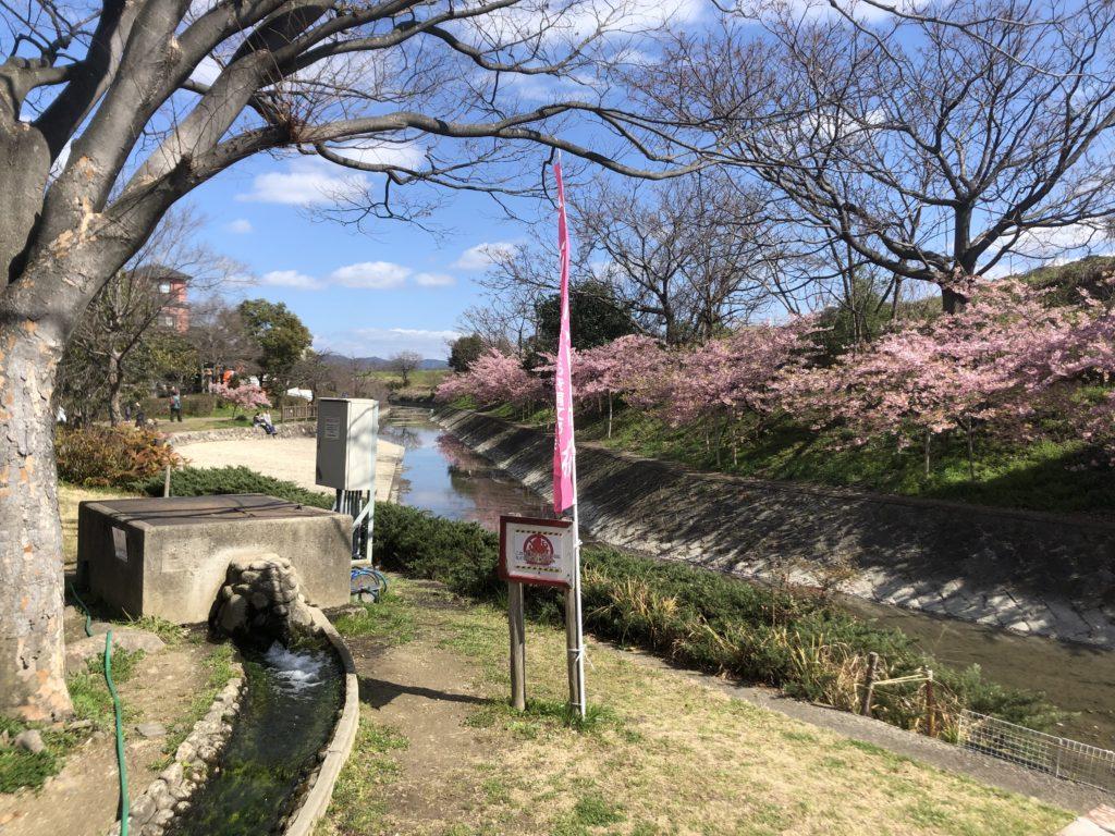 f57a2a2ca2d3a256f65868aa9c098f9d-1024x768 京都府 淀水路の河津桜(京都でいち早く桜が満開になるおすすめの河津桜写真スポット! アクセス方法や駐車場、2020年桜の開花状況など)