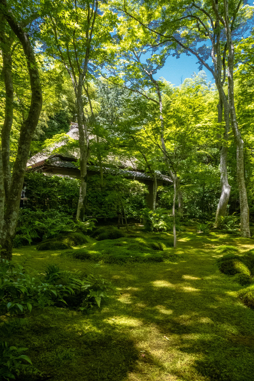 P1000099 京都府 祇王寺 (新緑に染まる青もみじと床一面の苔の美しい景色!京都の初夏、梅雨の時期におすすめの写真スポット! 撮影した写真の紹介、アクセスや見どころなど)