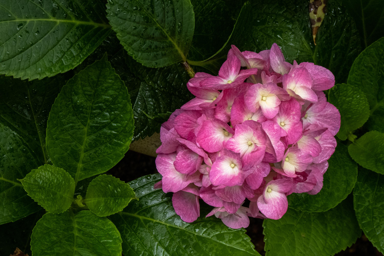 P1000357 京都府 三室戸寺 (1万株のアジサイが咲き誇る京都随一の名所! 初夏、梅雨の時期におすすめの写真スポット! 撮影した写真の紹介、アクセスやライトアップ情報など)