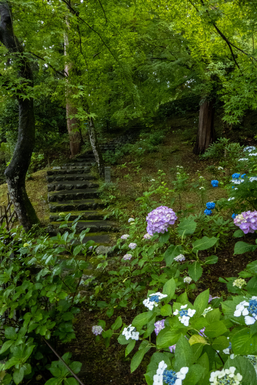 P1000450 京都府 三室戸寺 (1万株のアジサイが咲き誇る京都随一の名所! 初夏、梅雨の時期におすすめの写真スポット! 撮影した写真の紹介、アクセスやライトアップ情報など)