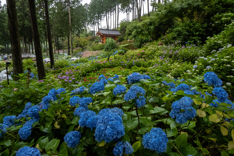 P1000506 京都府 三室戸寺 (1万株のアジサイが咲き誇る京都随一の名所! 初夏、梅雨の時期におすすめの写真スポット! 撮影した写真の紹介、アクセスやライトアップ情報など)