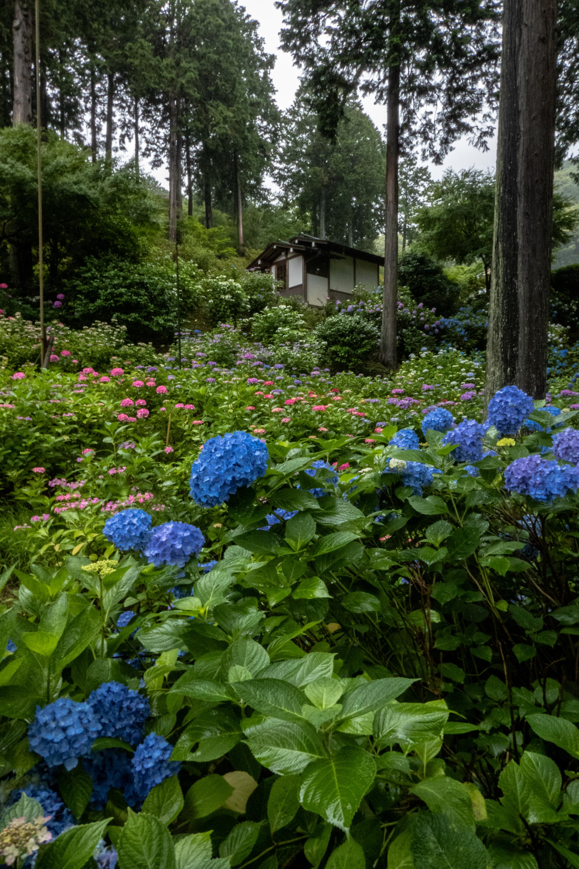 P1000524 京都府 三室戸寺 (1万株のアジサイが咲き誇る京都随一の名所! 初夏、梅雨の時期におすすめの写真スポット! 撮影した写真の紹介、アクセスやライトアップ情報など)
