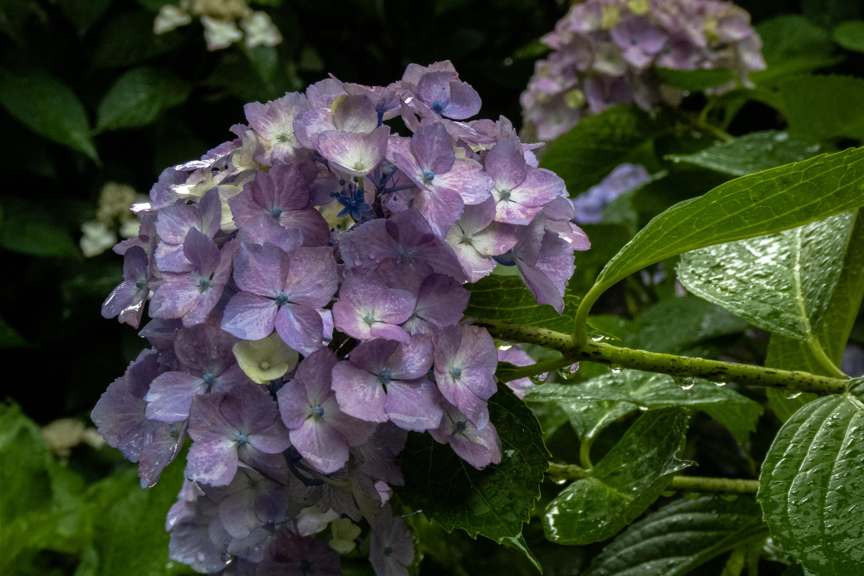 P1000544 京都府 三室戸寺 (1万株のアジサイが咲き誇る京都随一の名所! 初夏、梅雨の時期におすすめの写真スポット! 撮影した写真の紹介、アクセスやライトアップ情報など)
