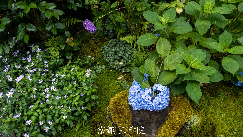 P1001413 京都府 三千院 (青もみじと苔の新緑が美しい庭園.  初夏、梅雨の時期におすすめの写真スポット!撮影した写真の紹介、アクセス情報など)