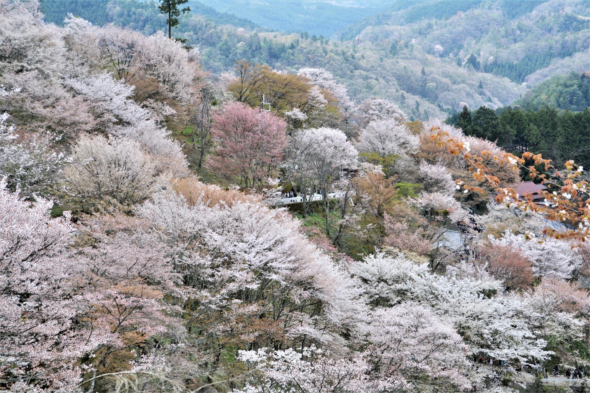 1134829_m 奈良県  吉野山(山が桜に染まる春におすすめの絶景スポット! 写真の紹介、アクセス情報や駐車場情報など)