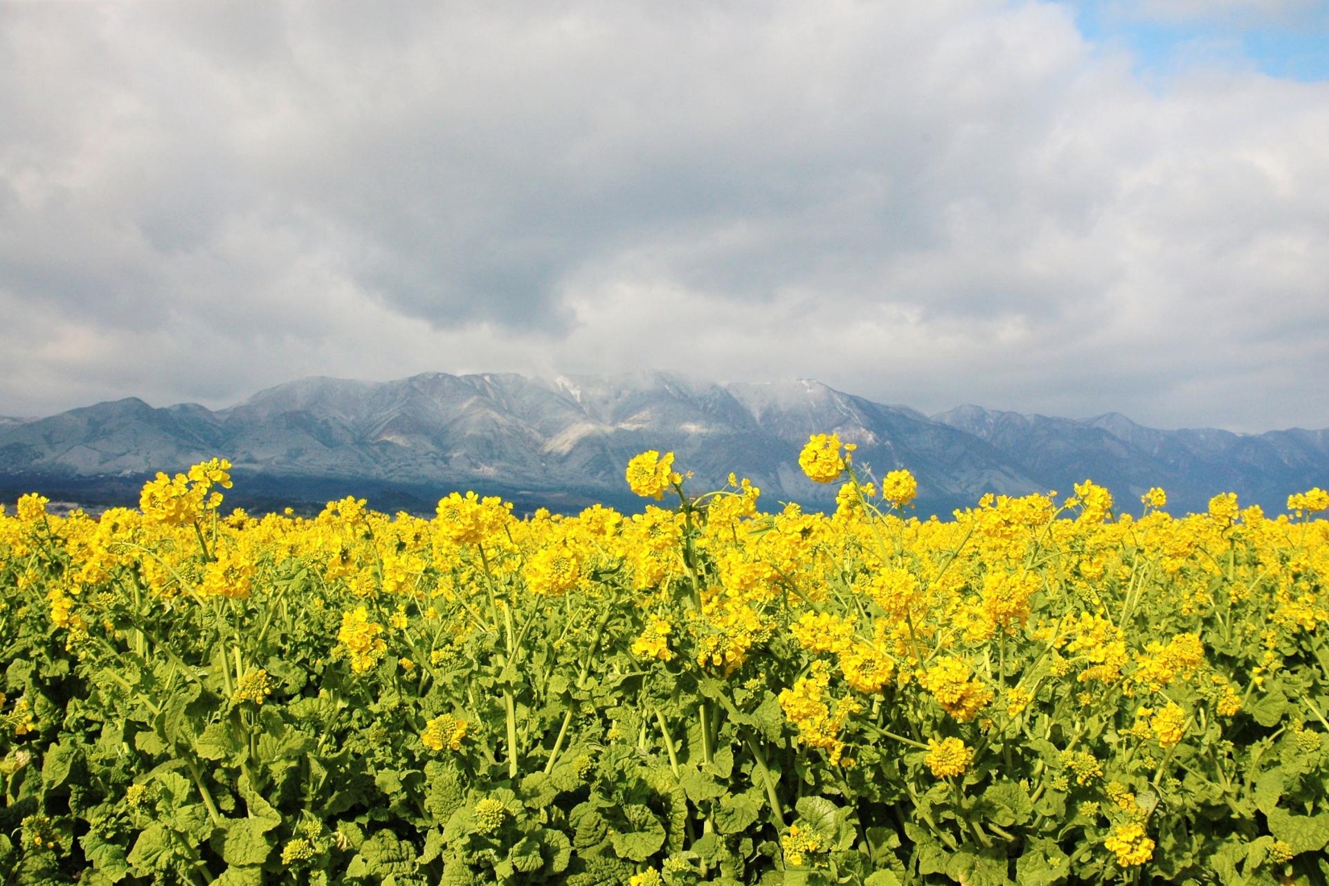 2249685_m 滋賀県  第一なぎさ公園(雪が残る比良山と約12000本の菜の花のコントラストが美しい冬におすすめの絶景スポット! 写真の紹介、アクセス情報や駐車場情報など)