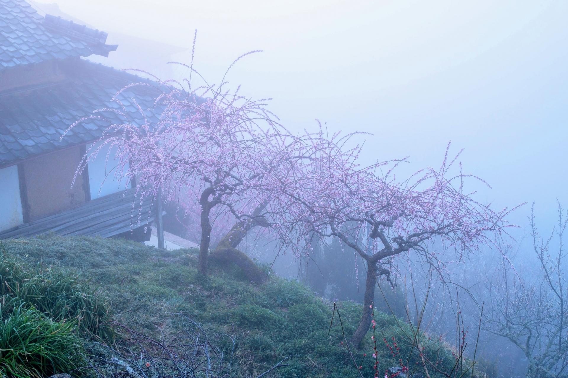 2345063_m 奈良県  月ヶ瀬梅林(約1万本の梅が咲く春におすすめの絶景スポット!雲海も見所! 写真の紹介、アクセス情報や駐車場情報など)