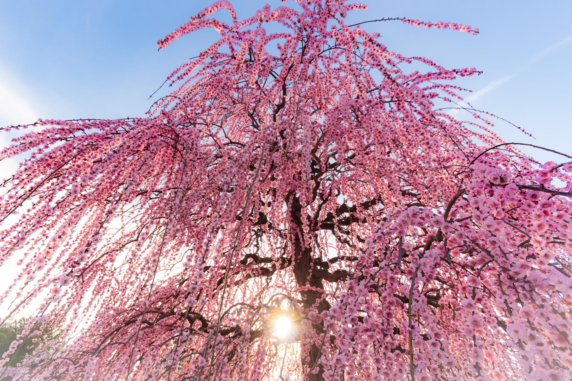 2416478_m 三重県  鈴鹿の森庭園(鈴鹿山脈を背景に彩る梅の絶景スポット! 夜間のライトアップも開催! 写真の紹介、アクセス情報や駐車場情報など)