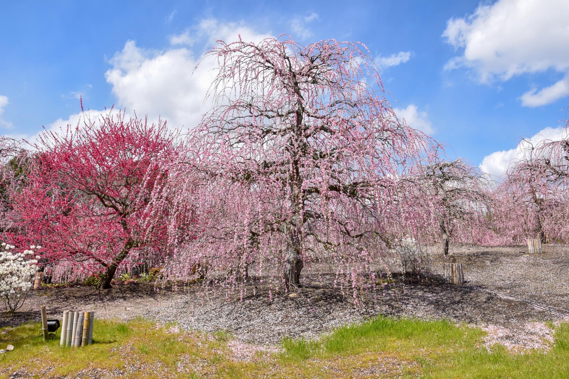 2485319_m 三重県  鈴鹿の森庭園(鈴鹿山脈を背景に彩る梅の絶景スポット! 夜間のライトアップも開催! 写真の紹介、アクセス情報や駐車場情報など)