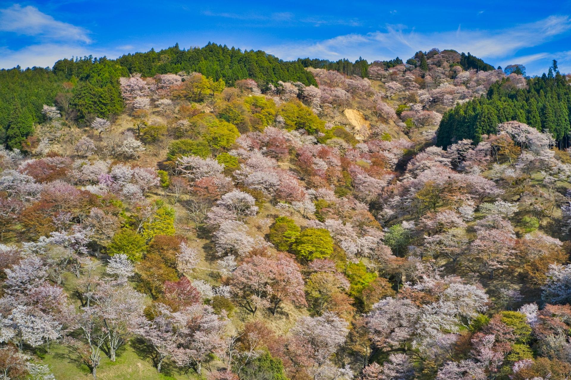 3237575_m 奈良県  吉野山(山が桜に染まる春におすすめの絶景スポット! 写真の紹介、アクセス情報や駐車場情報など)