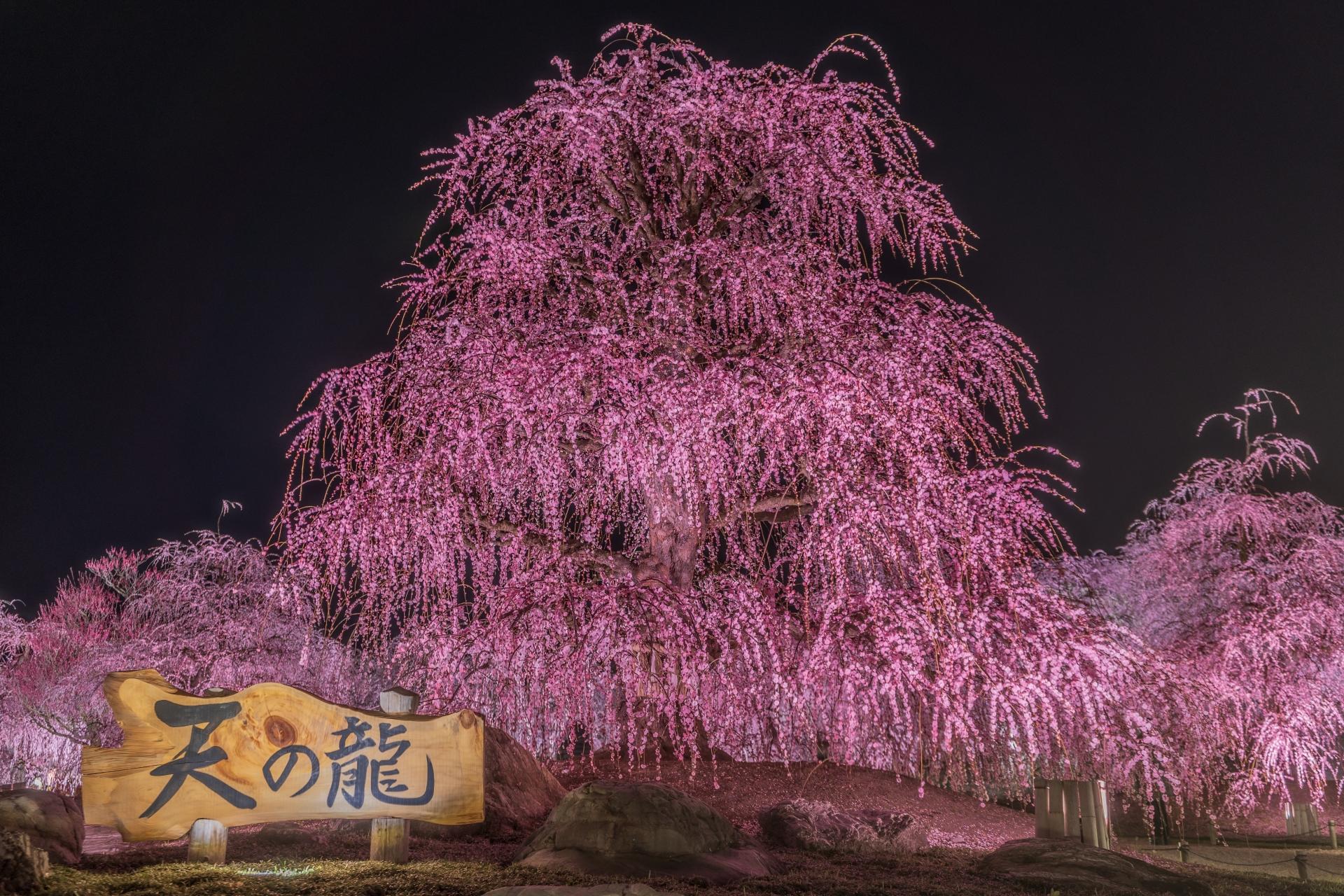 3269771_m 三重県  鈴鹿の森庭園(鈴鹿山脈を背景に彩る梅の絶景スポット! 夜間のライトアップも開催! 写真の紹介、アクセス情報や駐車場情報など)