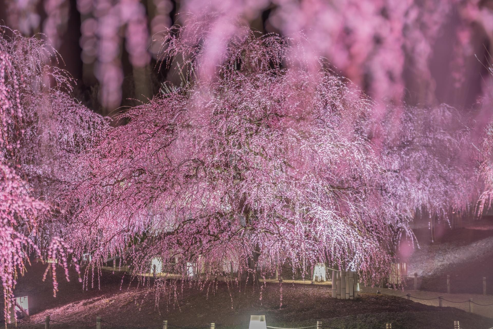 3269780_m 三重県  鈴鹿の森庭園(鈴鹿山脈を背景に彩る梅の絶景スポット! 夜間のライトアップも開催! 写真の紹介、アクセス情報や駐車場情報など)