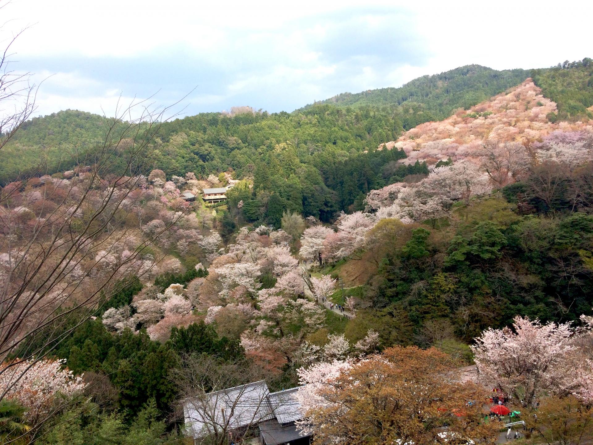 3363956_m 奈良県  吉野山(山が桜に染まる春におすすめの絶景スポット! 写真の紹介、アクセス情報や駐車場情報など)