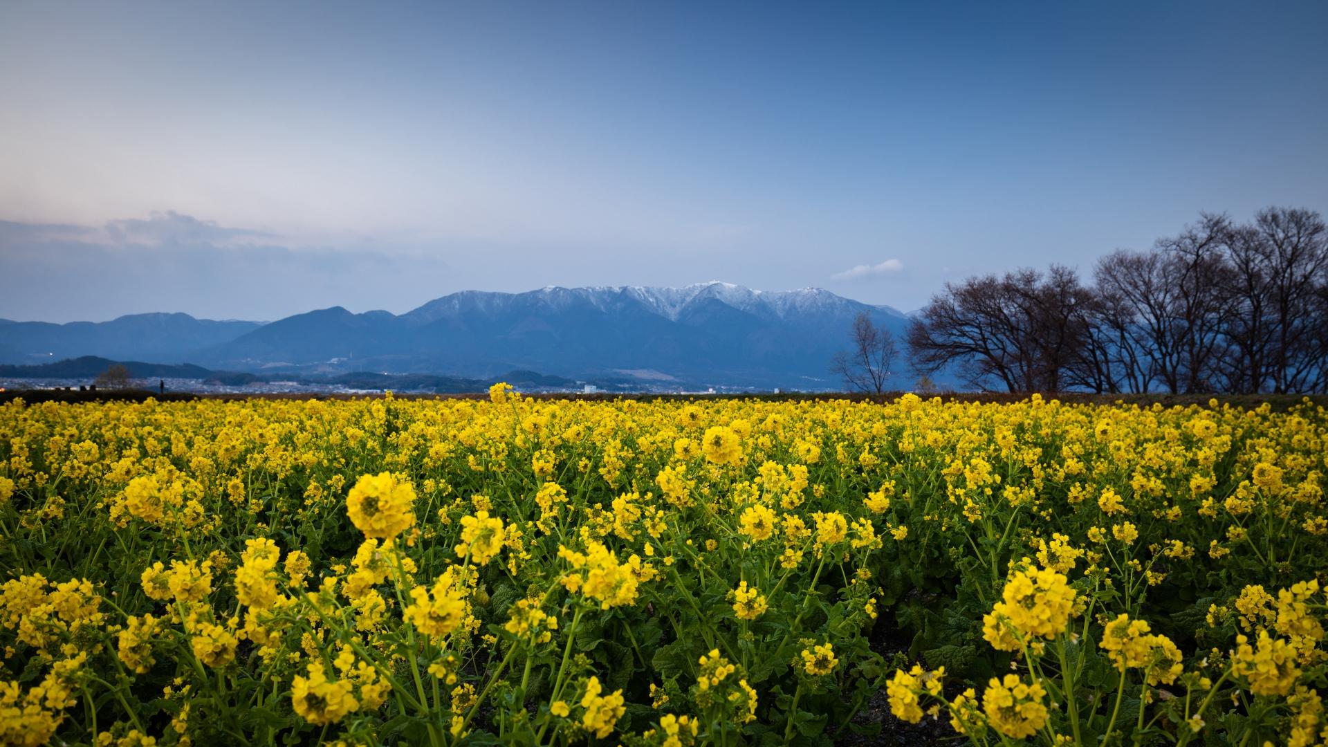3915795_m 滋賀県  第一なぎさ公園(雪が残る比良山と約12000本の菜の花のコントラストが美しい冬におすすめの絶景スポット! 写真の紹介、アクセス情報や駐車場情報など)