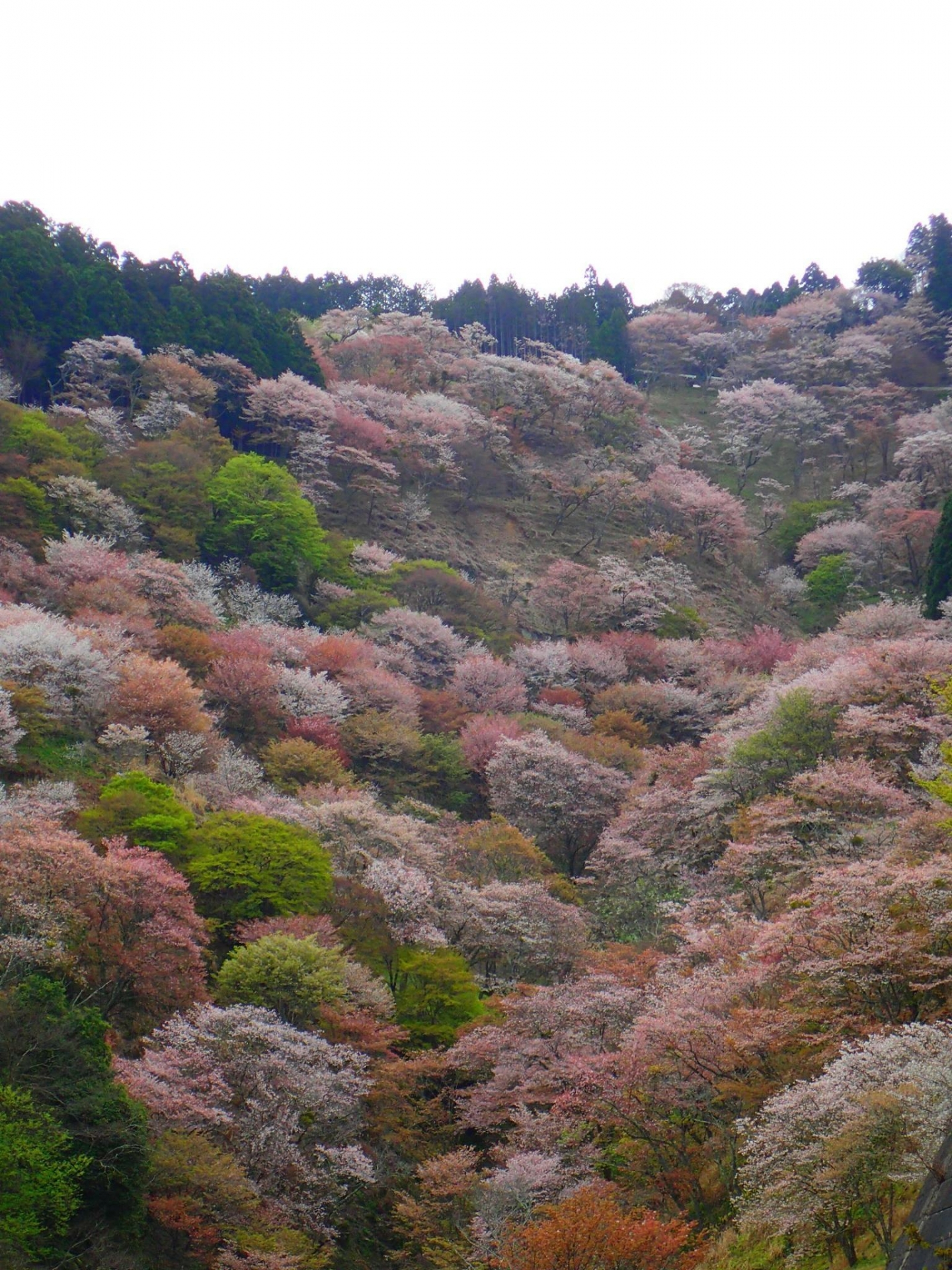 4500983_m 奈良県  吉野山(山が桜に染まる春におすすめの絶景スポット! 写真の紹介、アクセス情報や駐車場情報など)