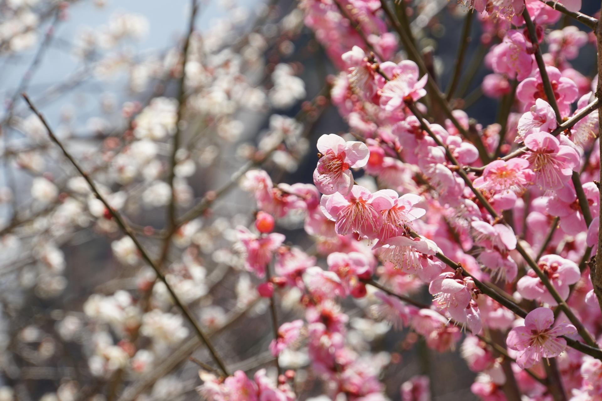 925394_m 奈良県  月ヶ瀬梅林(約1万本の梅が咲く春におすすめの絶景スポット!雲海も見所! 写真の紹介、アクセス情報や駐車場情報など)
