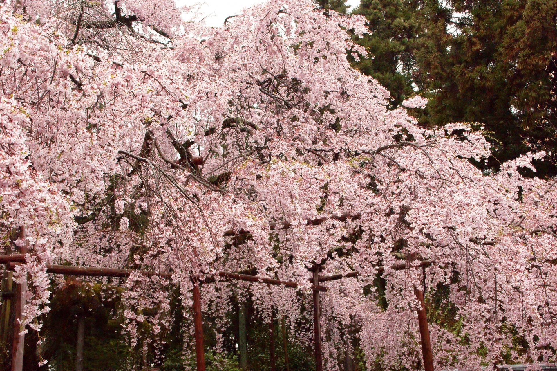 1550355_m 京都府 醍醐寺(花の醍醐と呼ばれる桜の景色が美しい春におすすめ写真スポット! 撮影した写真の紹介、アクセス情報など)