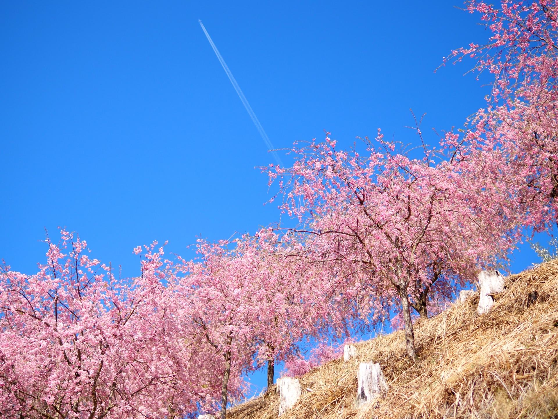 2413369_m 奈良県  高見の郷(1000本のしだれ桜が咲き誇る春におすすめの桜スポット! 写真の紹介、アクセス情報や駐車場情報など)