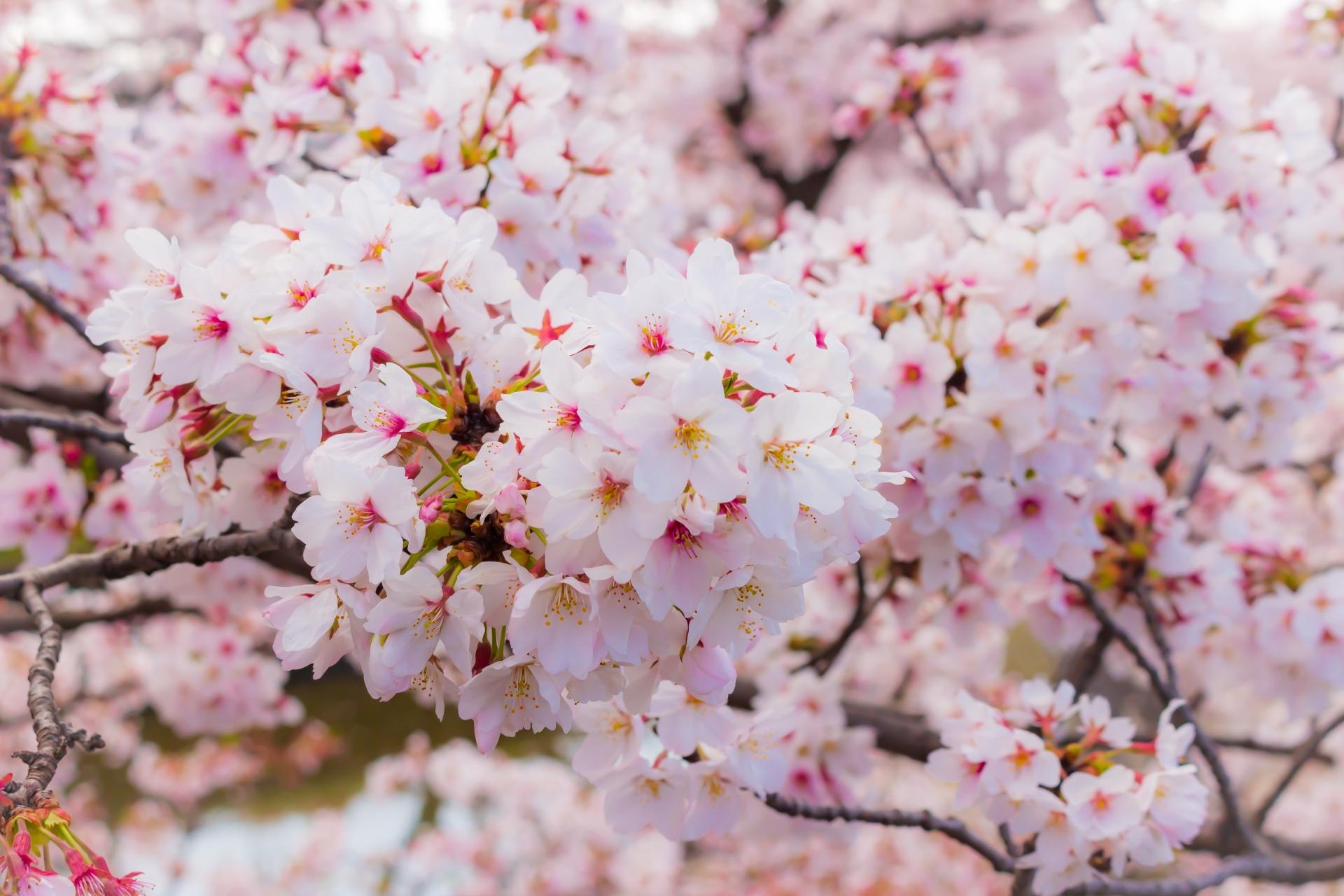 2419406_m 奈良県  高田千本桜(桜並木が美しい近鉄沿線で人気の桜スポット! 写真の紹介、アクセス情報や駐車場情報など)