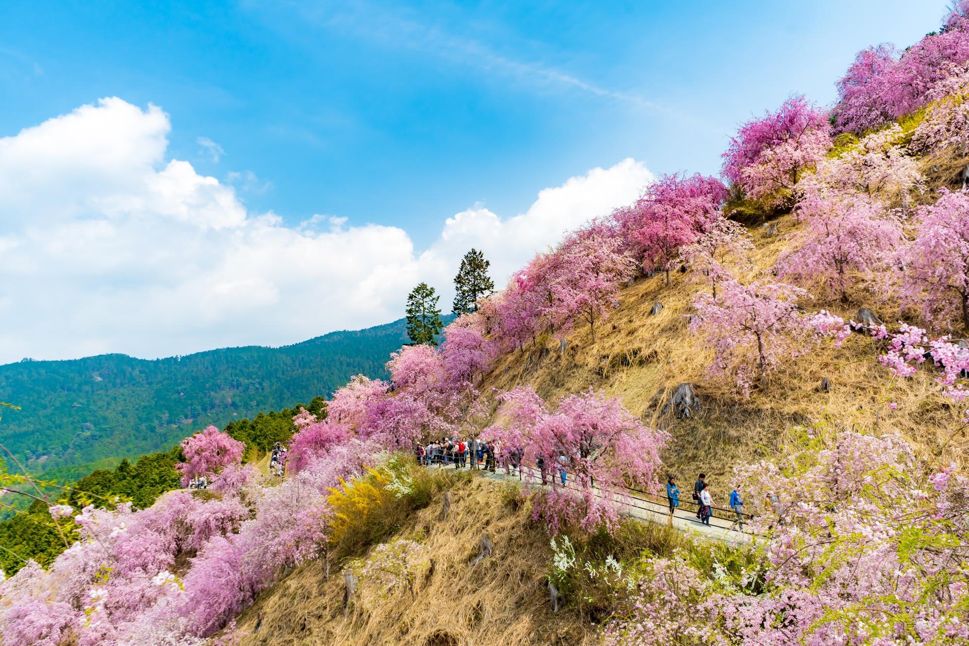 2459721_m 奈良県  高見の郷(1000本のしだれ桜が咲き誇る春におすすめの桜スポット! 写真の紹介、アクセス情報や駐車場情報など)