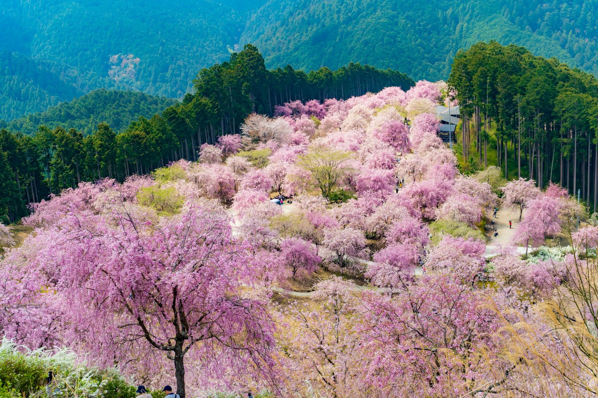 2459726_m 奈良県  高見の郷(1000本のしだれ桜が咲き誇る春におすすめの桜スポット! 写真の紹介、アクセス情報や駐車場情報など)