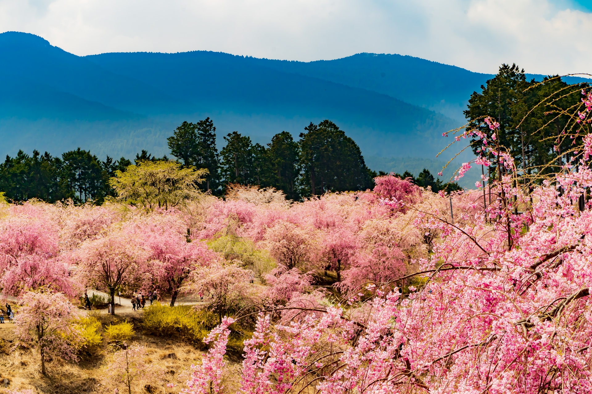 2459748_m 奈良県  高見の郷(1000本のしだれ桜が咲き誇る春におすすめの桜スポット! 写真の紹介、アクセス情報や駐車場情報など)