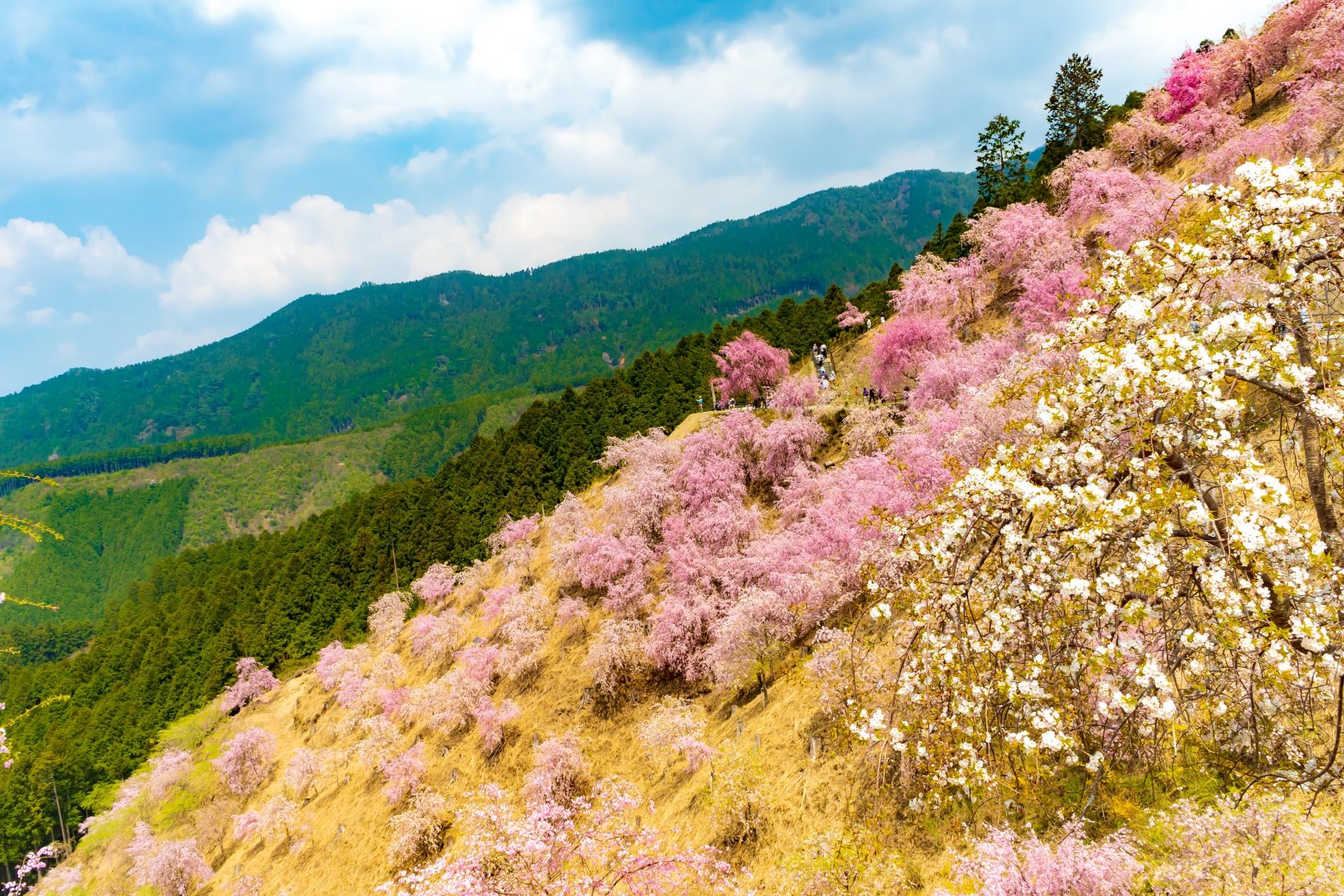 2459753_m 奈良県  高見の郷(1000本のしだれ桜が咲き誇る春におすすめの桜スポット! 写真の紹介、アクセス情報や駐車場情報など)