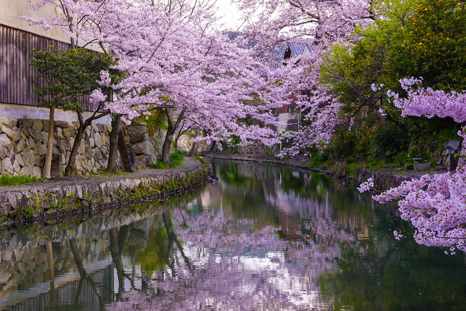 3335699_m 滋賀県  近江八幡 八幡堀(桜と和舟の景色に日本の風情を感じる春におすすめの桜スポット! 写真の紹介、アクセス情報や駐車場情報など)
