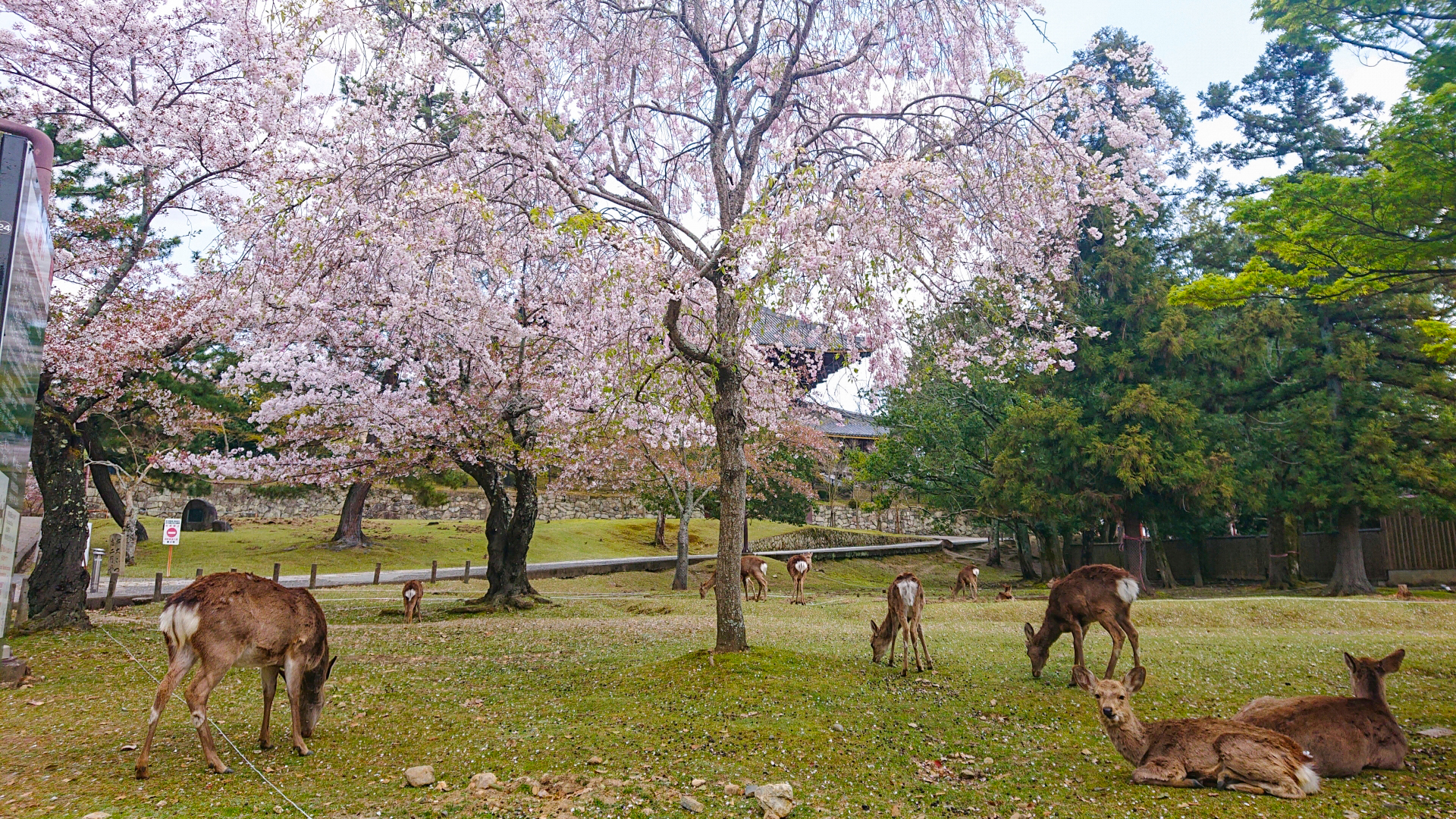 3538178_m 奈良県  奈良公園(鹿と桜の美しい景色が見れる春におすすめの桜スポット! 写真の紹介、アクセス情報や駐車場情報など)