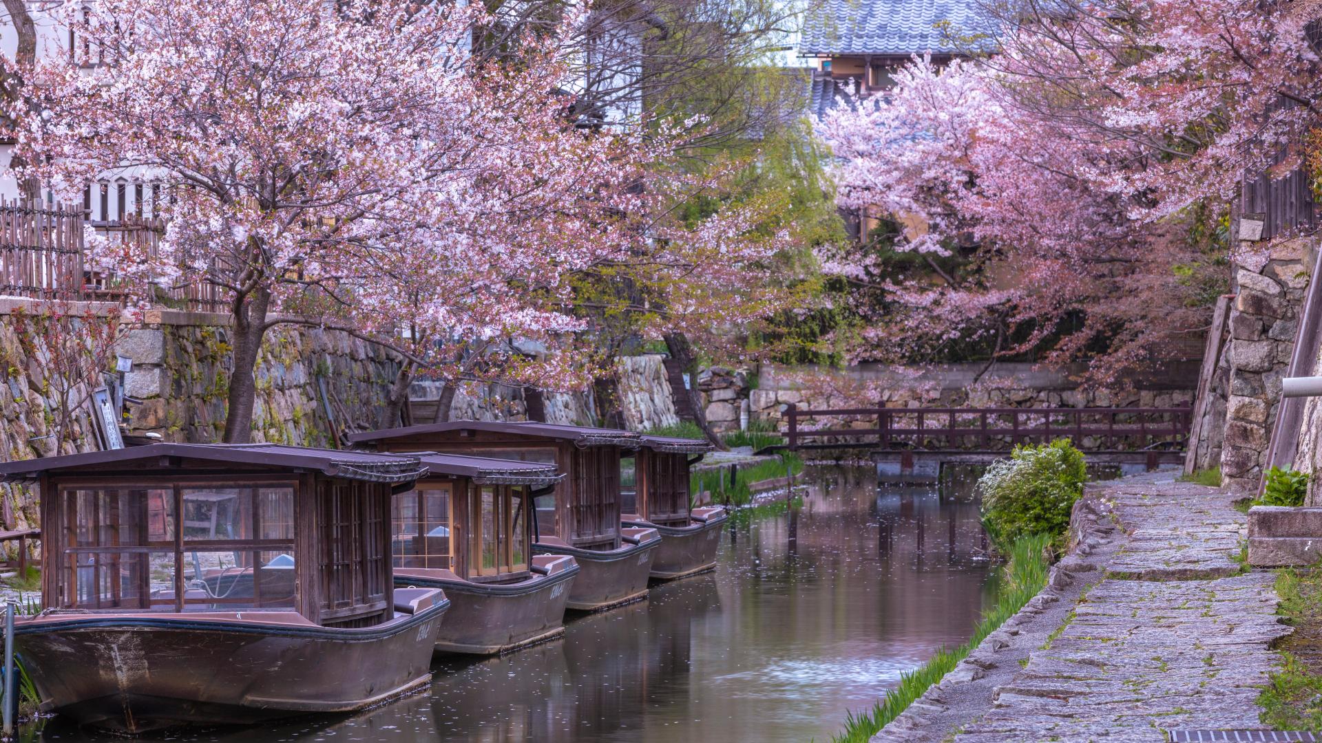 3900205_m 滋賀県  近江八幡 八幡堀(桜と和舟の景色に日本の風情を感じる春におすすめの桜スポット! 写真の紹介、アクセス情報や駐車場情報など)
