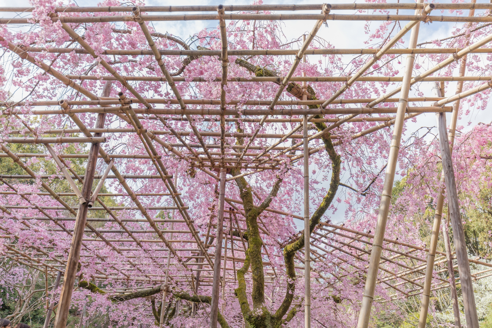3963403_m 京都府 平安神宮(水面に映る桜の景色が美しい春におすすめ桜写真スポット! 撮影した写真の紹介、アクセス情報など)