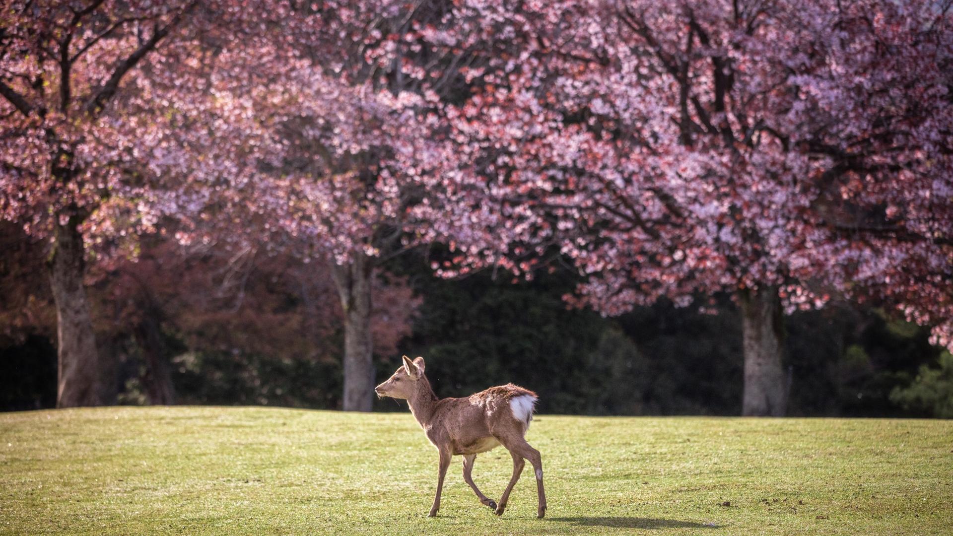 3963968_m 奈良県  奈良公園(鹿と桜の美しい景色が見れる春におすすめの桜スポット! 写真の紹介、アクセス情報や駐車場情報など)