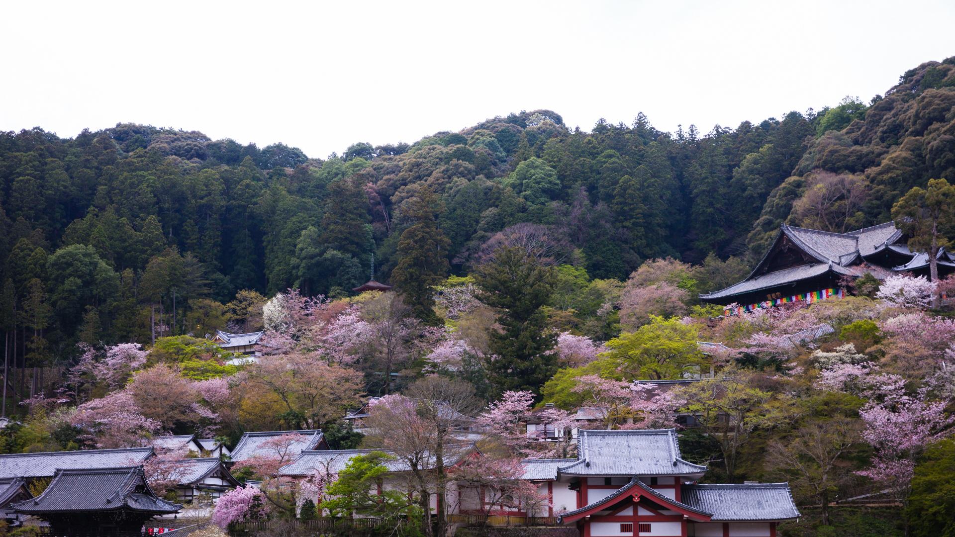 4014272_m-1 奈良県  長谷寺(境内に約1000本もの桜が咲き誇る春におすすめ桜スポット! 写真の紹介、アクセス情報や駐車場情報など)